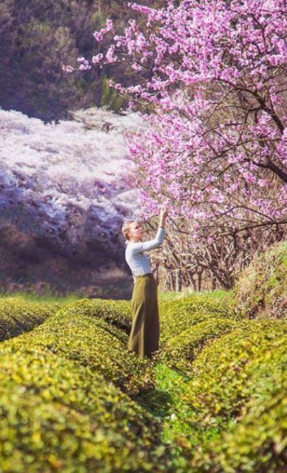 How To See The Hwagae Cherry Blossom Festival Hedgers Abroad Cherry Blossom Festival Cherry Blossom Season Korea Travel