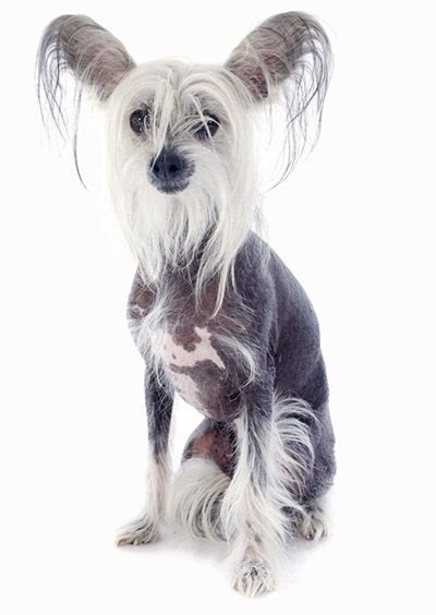 35 Dog Breeds That Don T Shed Small Medium Large Breeds Extra Large Dog Breeds Large Dog Breeds Chinese Crested Dog