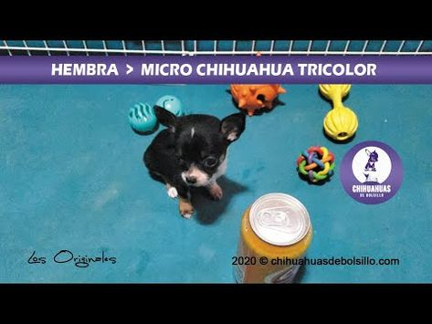 Las Mejores 55 Ideas De Mi Chihuahua Chihuahua Perros Mascotas