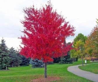 árbol De Arce Rojo Arboles Para Jardin árboles De Sombra Arboles De Colores