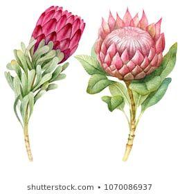 Watercolor Tropical Protea Flowers Protea Art Floral Watercolor Flower Painting