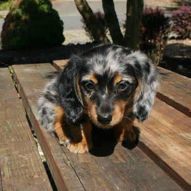 99 Blue Dapple Mini Dachshund Puppies For Sale In 2020