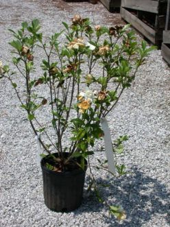 Gardenia Gardenia Angusta Exhibiting Above Ground Symptoms Of