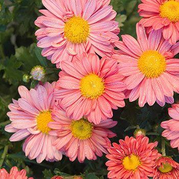 Coral Daisy Mammoth Mum Shop Perennials Michigan Bulb Spring Hill Nursery Perennial Plants Bulb Flowers