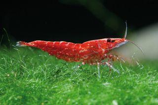 Red Cherry Shrimp Qty 10 Elite Inverts Store Cherry Shrimp Red Cherry Shrimp Shrimp