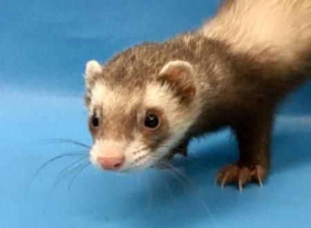 Lot The Ferret Available For Adoption In Woodbury Mn Small Pets Pets Animals