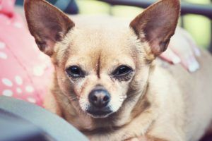 Chihuahua Dogs 101 Omg Facts About Chihuahua Dog Chihuahua