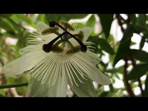 passionsblume vermehren