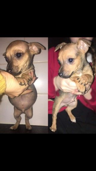 Jackawawa Puppies For Sale Puppies Puppies For Sale Dogs