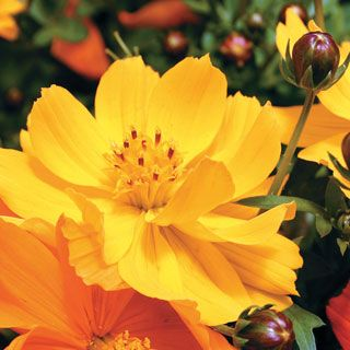 Cosmic Yellow Cosmos Flower Seeds In 2020 Flower Seeds Cosmos Flowers Cosmos