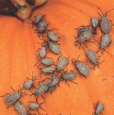 How to get rid of squash bugs and companion plants to discourage them.
