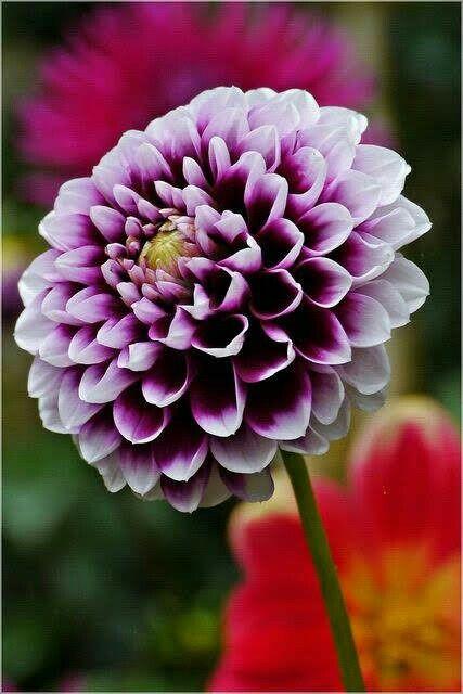Pin By Mona Moni On Dahlia Pretty Flowers Purple Dahlia Beautiful Flowers