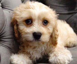 Puppies For Sale Miami Pembroke Pines Fl Forever Love Puppies Puppies For Sale Cavachon Puppies Cavachon