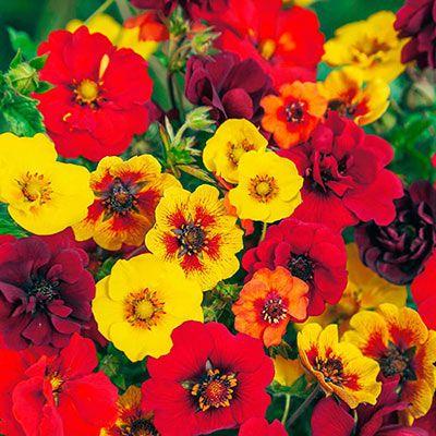 Potentilla Indian Summer Mix Flower Pots Drought Tolerant