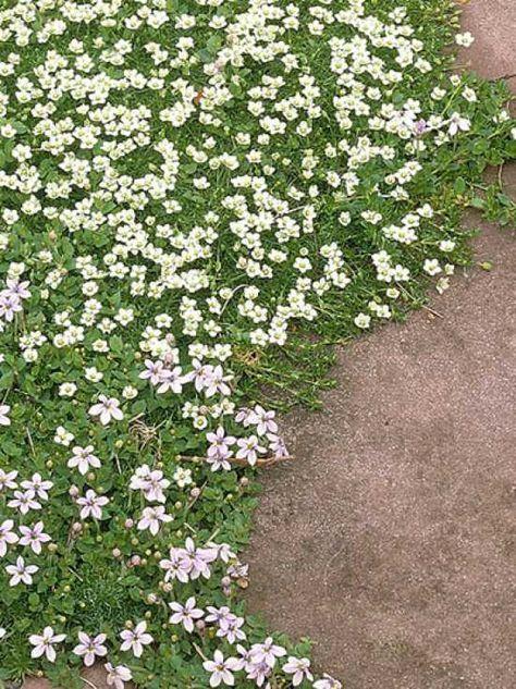 Sagina subulata / Sternmoos / Sternpolster, 5 cm trittfest, sonnig bis schattig