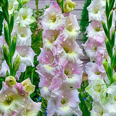 Pin By Tatjana Mokamel Salinski On Jardin Doux Et Doux Gladiolus Gladiolus Bulbs White Flowers