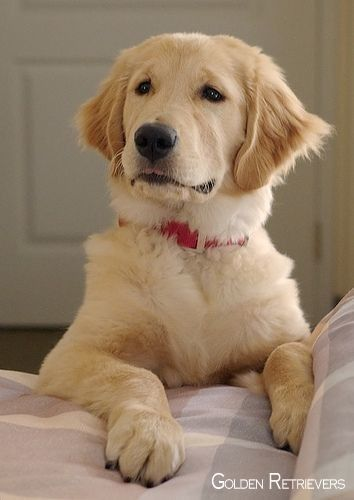 Pin By Kenny Hawblitz On Dogz Retriever Puppy Dogs Dogs Puppies