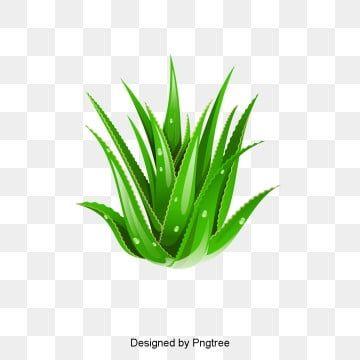 Vector Aloe Vera Aloe Vera Aloe Essential Png Transparent Clipart Image And Psd File For Free Download Aloe Vera Aloe Clip Art