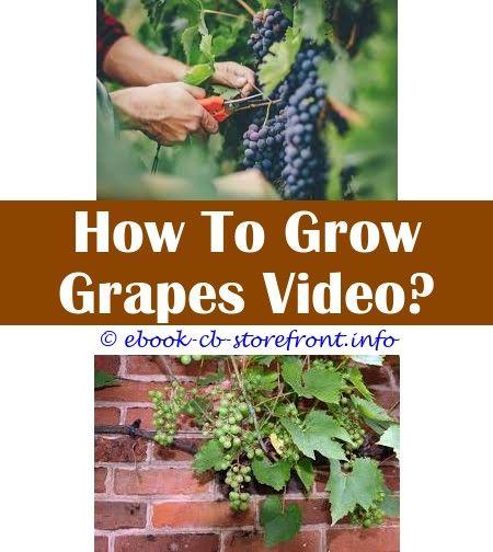 44++ Backyard grape trellis ideas info