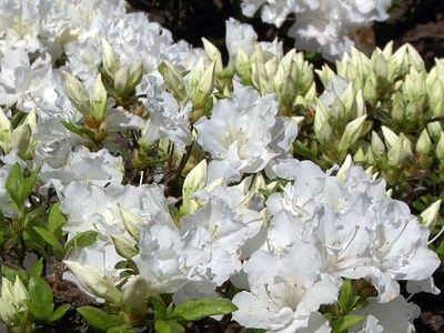 Japanische Azalee Feenkissen S Rhododendron Obtusum Feenkissen S Azaleen Wurzelsystem Japanischer Facherahorn