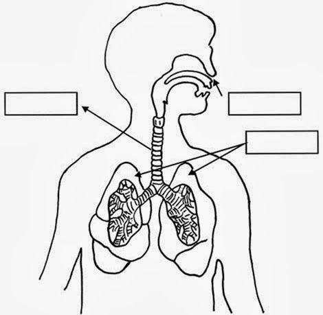 Imágenes Fichas órganos Del Aparato Re Sistema Respiratorio Para Colorear Sistema Respiratorio Dibujo Sistema Respiratorio Para Niños