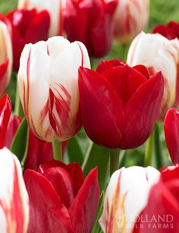 Candy Stripe Tulip Duo In 2020 Beautiful Flowers Calla Lily Flowers Tulips Garden