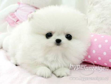 Super Cute Pomeranians Puppies   Zwergspitz/ Pomeranian Welpe - Detail der Anzeige