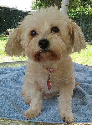 Pictures Of Daisyann Fl A Maltese For Adoption In Largo Fl Who