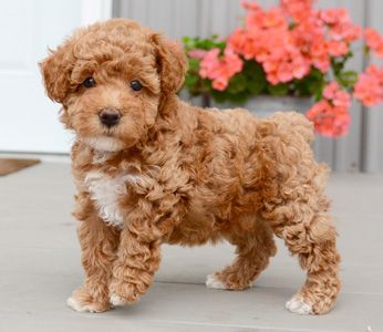 View Image 1 For Poodle Toy Poodle Puppies Yorkie Maltese