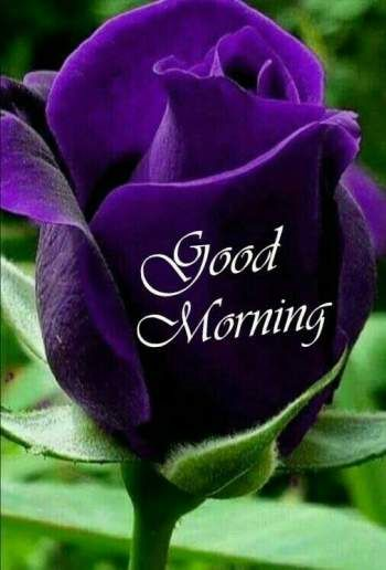 Good Morning Purple Rose Good Morning Roses Good Morning Flowers Rose Good Morning Flowers