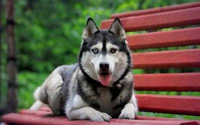 Best Siberian Husky Wallpaper Hd Best Puppies Puppies Shepsky Puppy