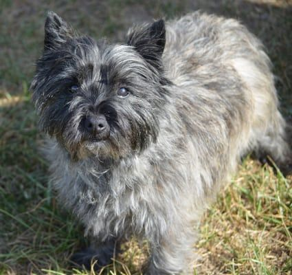 Cairn Terrier A Toto Ly Awesome Dog Breed Cairn Terrier