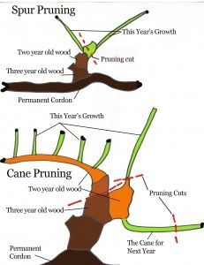 How to Prune a Grape Vine Pruning prevents the vine from growing too much foliage, which in turn, amounts to not enough fruit. A well-pruned vine is given maximum exposure to sunlight, air circulation and maintenance.These factors create an atmosphere less likely to harbor diseases or pests. Knowing how to prune a grape vine correctly will increase your productivity and quality of the crop....