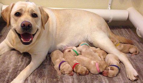 Labrador Retriever Breeder Ny Labrador Retriever Puppies Ny