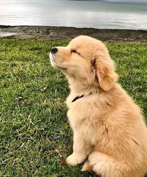 Golden Retriever & Why Are They The Perfect Pets Welpe liebt die Brise! The post Golden Retriever & Warum sind sie die perfekten Haustiere appeared first on Animal Bigram Ideen. The Animals, Cute Little Animals, Cute Funny Animals, Funny Dogs, Funny Puppies, Wild Animals, Funniest Animals, Cute Little Dogs, Jungle Animals