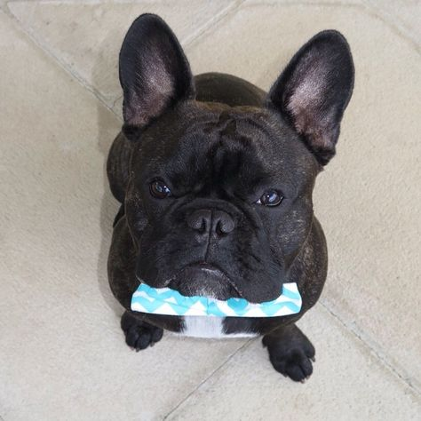 French Bulldog in a Bow Tie, via Batpig & Me Tumble It