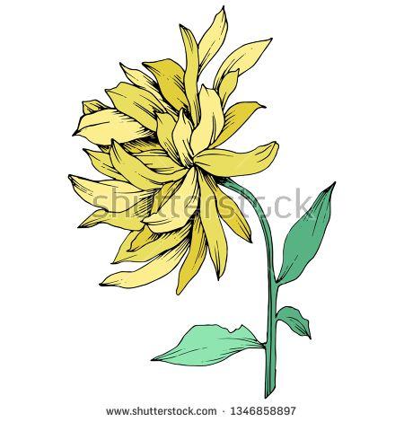 Stock Vector Vector Yellow Chrysanthemum Floral Botanical Flowers Wild Spring Leaf Wildflower Isolate Botanical Flowers Yellow Chrysanthemum Floral Botanical
