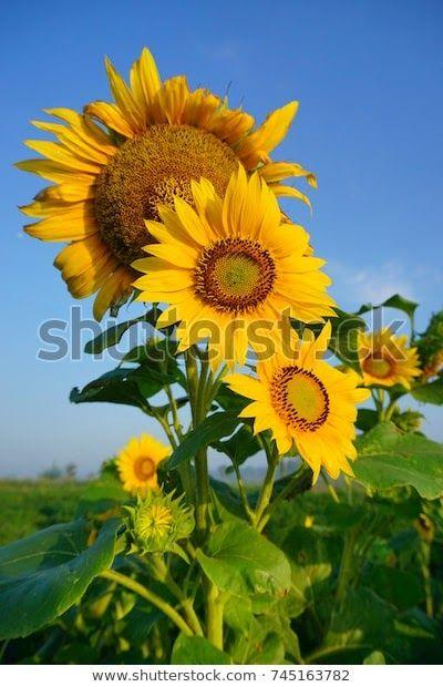 Wow 30 Foto Bunga Matahari Hd Beautiful Sunflower Bunga Matahari Stock Photo Edit Now Download Beautiful Sunflower Bunga Matah Di 2020 Bunga Menanam Bunga Menanam