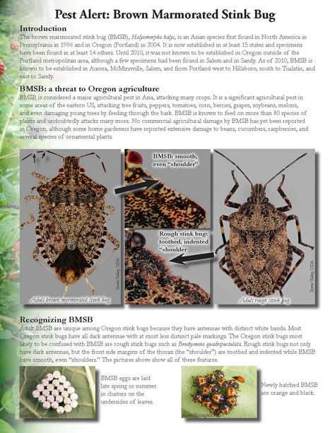 Pest alert : brown marmorated stink bug, by the Oregon Department of Agriculture