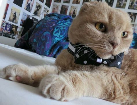 Basil Farrow Cat Of Ronan Farrow La Carmina Wearing A Bow Tie See More At Http Lacarmina Com Bas Cat Scottish Fold Scottish Fold Kittens Cute Cat Breeds