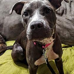 Savannah Ga American Staffordshire Terrier Meet Tokyo A Pet