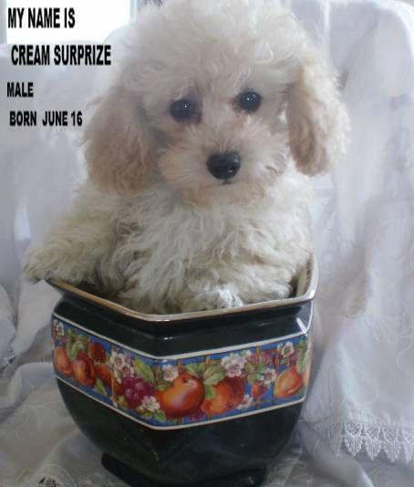 Teacup Poodle Puppies For Sale Teacup Poodle Teacup Poodles Tiny