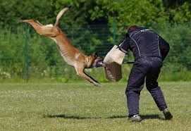Image Result For Belgian Malinois Attacking Attack Dog Training