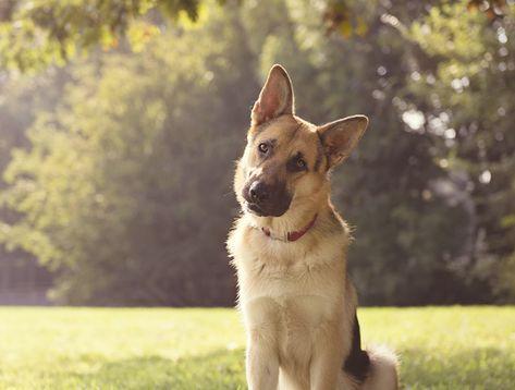 Votre chien a l'habitude d'utiliser tous les membres de son corps pour communiquer avec vous et avec d'autres animaux. Alors comment…