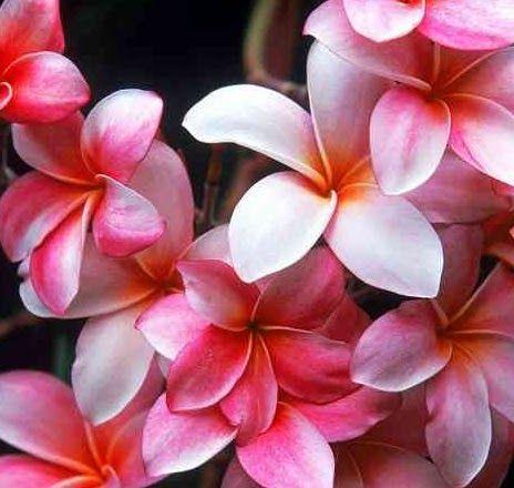 19 Contoh Gambar Bunga Kamboja Jepang Cara Menanam Bunga Kamboja Jepang Adenium Dapat Dilakukan Dengan Mudah Dan Bahkan Bagi Pemul Di 2020 Bunga Menanam Bunga Gambar