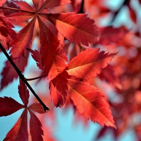 10pcs Red Maple Seeds Garden Indoor Beautiful Potting Plant at Banggood