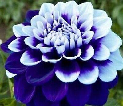 Blue White Dahlia Flower Seeds 100 Seeds For Sale Online Ebay Flower Landscape Bulb Flowers Bonsai Flower