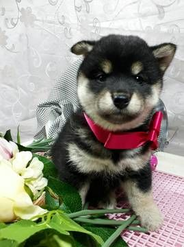 Shiba Inu Puppy For Sale In Jamaica Ny Adn 67925 On Puppyfinder
