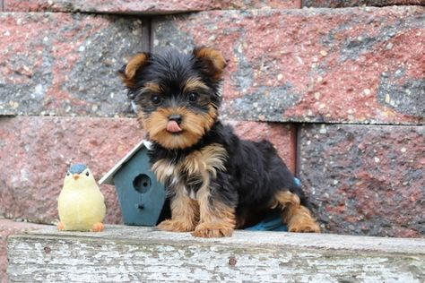Kendrick Yorkshire Terrier Puppy Puppyspot With Images Yorkshire Terrier Puppies Terrier Puppies Pitbull Terrier