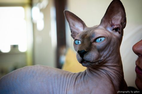 blue-sphynx-cat-wallpaper-2.jpg (1004×666)